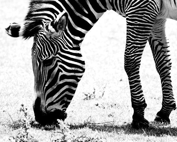 00 a zebra