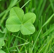 four-leaf-clover-711625__180